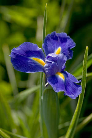 Detail of violet blow of iris with beautiful venation