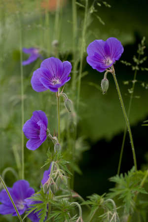Detail of blow of blue meadow cranes-bill with bud Stock Photo