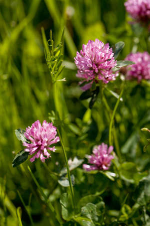 Detail of pink blow of cow-grass in the grass on the garden
