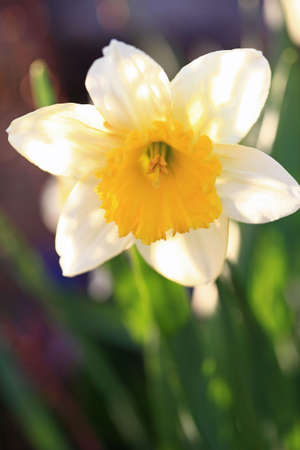 Detail of blow of white narcissus with yellow centre Stock Photo