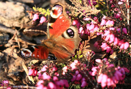 villi: Detail of peacock butterfly on the heath with pink blow