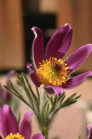 Detail of pasque-flower with yellow pollen on the stamen and villi violet peta