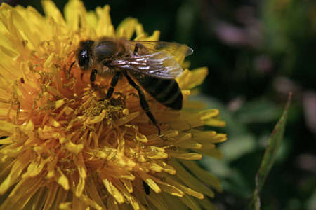 villi: Detail of wasp on the yellow blow of dandelion Stock Photo