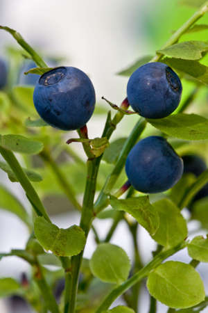 Detail of three blueberry with green leafs