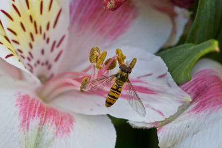 Wasp on the stamen with pollen