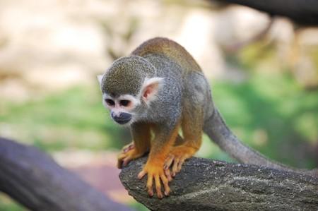 sciureus: Little squirrel monkey lat.  Saimiri sciureus