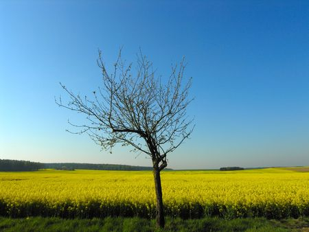 recluse: tree at field