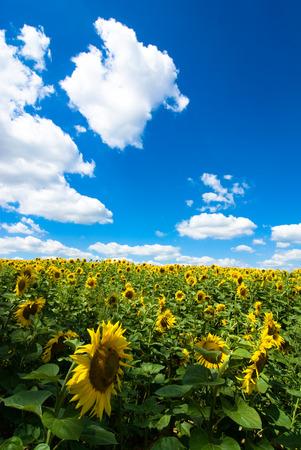 sun-flower photo