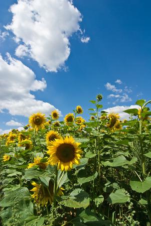 farina: sun-flower Stock Photo
