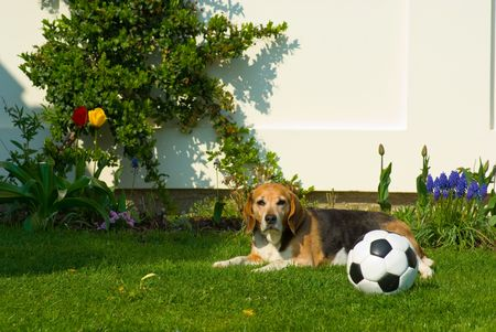 still life to garden at house with football,dog and tulip photo
