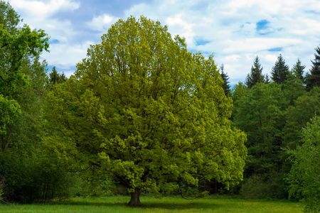 basswood: lime tree in spring with sky on background