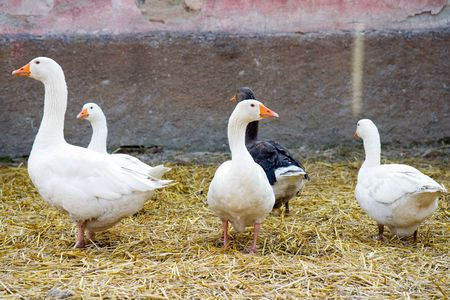 cackle: group of gooses on farm