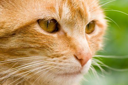 gato naranja: Close-up de gato naranja