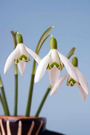 snowdrop flowers in vase on blue background Stock Photo - 4564083