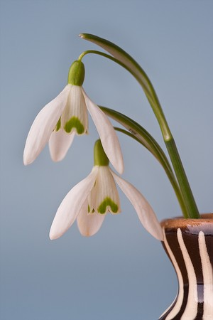 snowdrop flowers in vase on blue background Stock Photo - 4564099