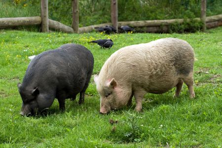 the pigs on a farm Stock Photo - 5260087
