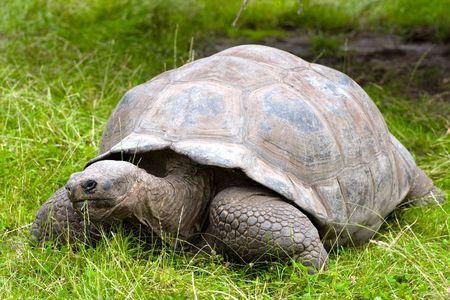 land turtle:   Galapagos giant tortoise on grass