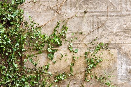 green ivy on a old wall photo