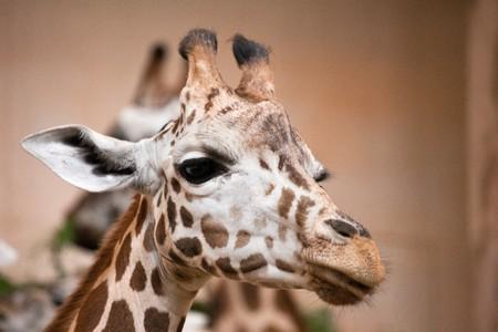 photo shot of giraffe at zoo