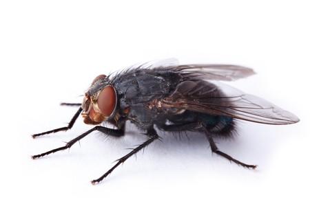 ugliness: macro shot of the housefly