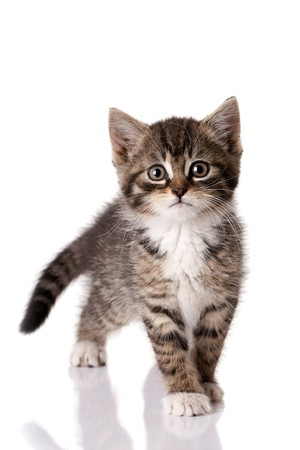 little kitten on white background photo