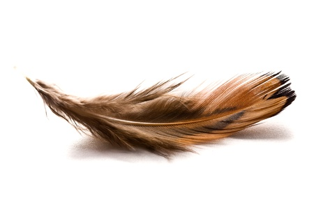 falling feather: the brown feather on white background
