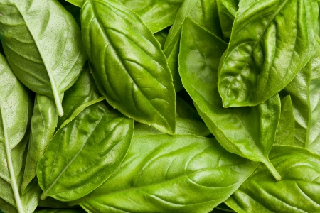 the fresh basil leaves background photo