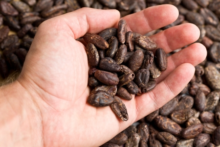 cocoa bean: the  handful of cacao beans