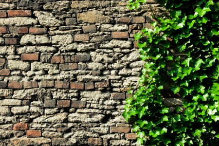 ivy wall: the stone wall covered in ivy