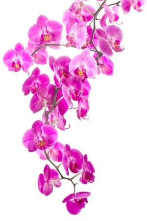 pink flowers orchid on white background Archivio Fotografico