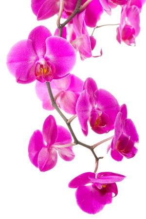 pink flowers orchid on white background photo