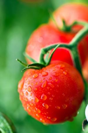 tomates rojos cubiertos de rocío en la ramita