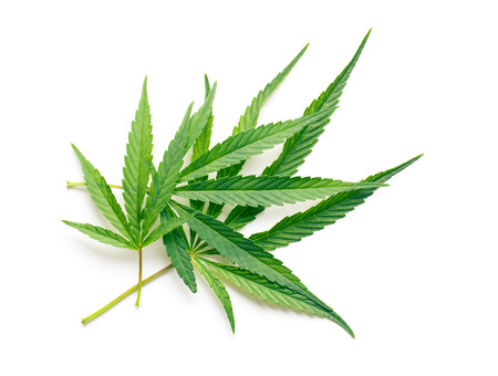 medicinal leaf: cannabis leaves on white background Stock Photo