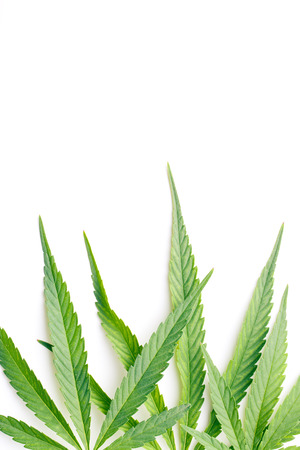cannabis leaves on white background 免版税图像