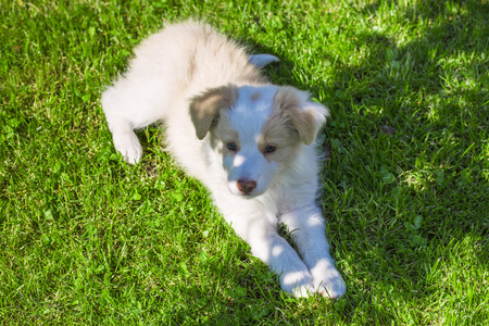 border collie puppy: Border Collie puppy lying on the lawn. A cute little dog.