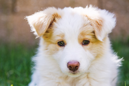cute dogs: Ee red Border Collie puppy. Young dog outside on the lawn.