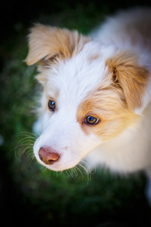 border collie puppy: Ee red Border Collie puppy. Young dog outside on the lawn.