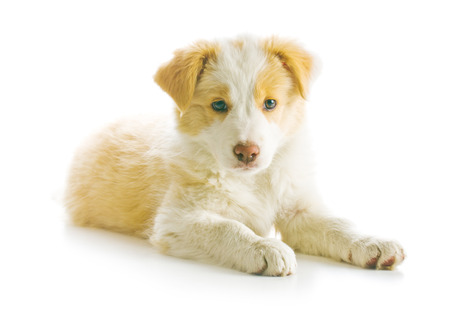 ee: Ee red Border Collie puppy. Young dog isolated on white background.