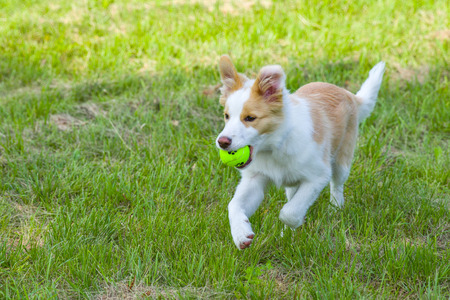 border collie puppy: Border collie puppy running with a ball in its mouth.
