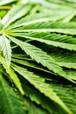 Green cannabis leaves. Closeup shot.