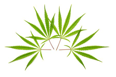 Marijuana cannabis leaves isolated on white background.
