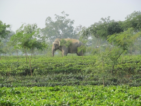 Elephant in a tea garden in Assam Stock Photo - 23095487
