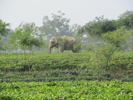 assam tea: Elephant in a tea garden in Assam