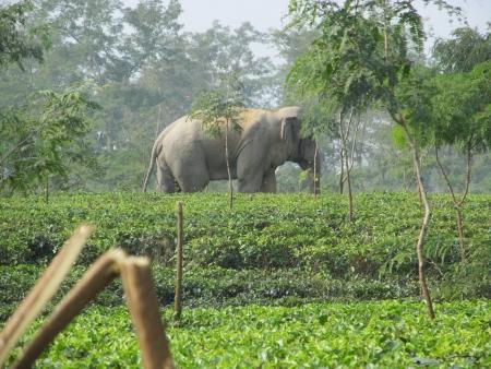 Elephant in a tea garden Stock Photo - 23095488