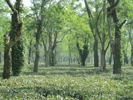 assam tea: Tea garden in Assam