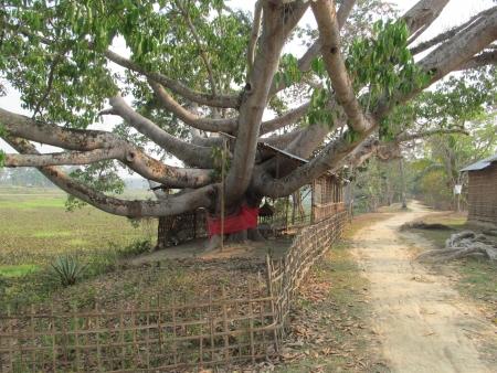 assam: octopus-like tree in Assam Stock Photo