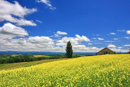 mustard field: Panoramic view of mustard field and blue sky with clouds in Biei town, Hokkaido. Biei is a small town located 25 km south-southeast of Asahikawa city. It is well-known as a town with many picturesque beautiful hills and un-Japanese landscape. Field mustar