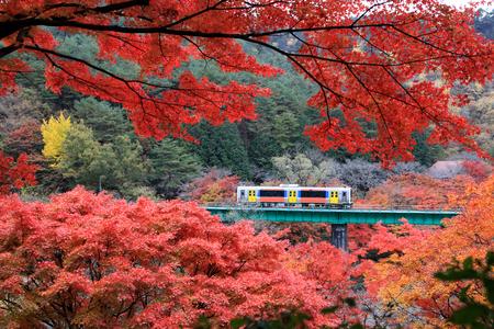 Beautiful maple(momiji) leaves with train running at Yamatsuriyama Park in Fukushima prefecture, Japan