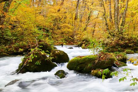 Water stream flowing through the colorful autumn forest with fallen leaves on Oirase walking trail in Towada Hachimantai National Park,  Aomori, Japan