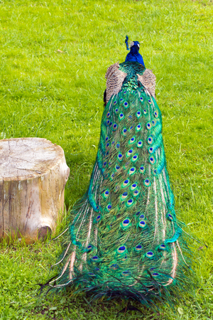 weed block: Colorful folded peacocks tail near the stump in the background of green grass (vertical)